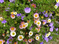 Summer daisies at Robin Costello's acupuncture clinic in Exeter