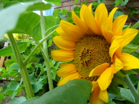 Sunflower at Robin's acupuncture clinic, Exeter
