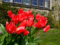 Spring tulips in south Devon.