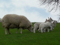 Lambs near Crediton