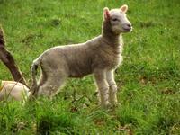 Lamb nr Moretonhampstead