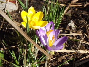 Late winter crocus at Robin's acupuncture clinic in Exeter
