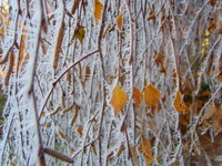 Winter health tips: Winter birch near Crediton