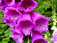 Summer foxglove at acupuncturist Robin Costello's clinic, Exeter