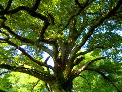 Tree nr Chagford
