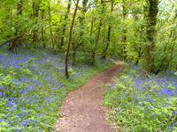 South Devon bluebell wood