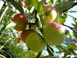 An apple a day: apples growing at Robin Costello's acupuncture clinic in Devon.