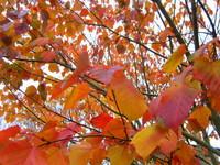 Autumn colour in Honiton