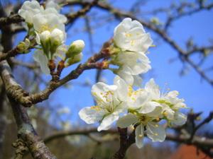 Plum blossom in Exeter