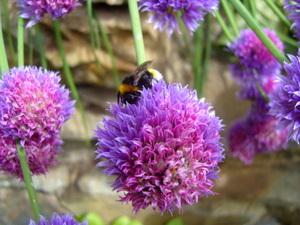 Bee activity on the chives at Robin's acupuncture clinic, Exeter